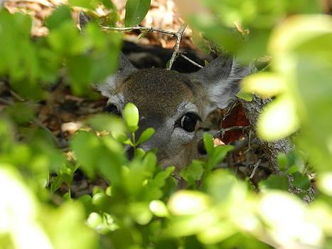 Key Deer Peek-a-boo by Amber Bobbitt