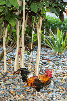 Key West Red Rooster by Natural Focal Point Photography