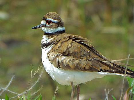 Killdeer by Gilbert Photography And Art