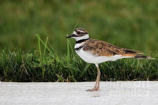 Killdeer  by Lisa Plymell