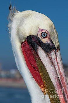 King Pelican by Kasia Bitner