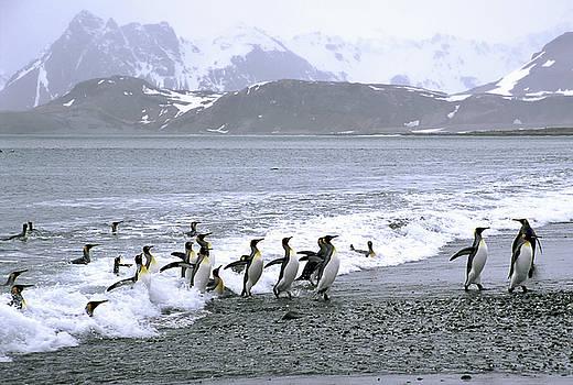 Greg Dimijian - King Penguins Come Ashore