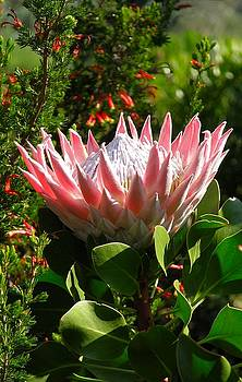 King Protea by Heather Nel