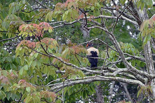 Harvey Barrison - King Vulture Study Number Four