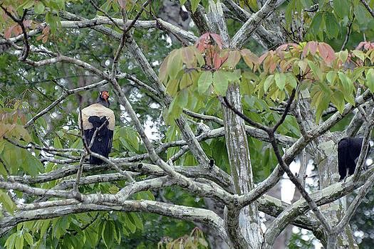 Harvey Barrison - King Vulture Study Number Three