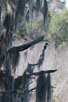 Paul Rebmann - Kingfisher and Spanish Moss