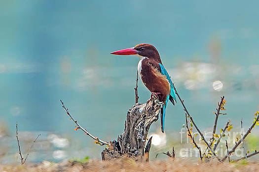Kingfisher on a stump by Pravine Chester