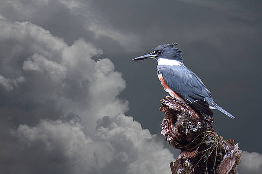 Kingfisher Stormy Background by Rosalie Scanlon
