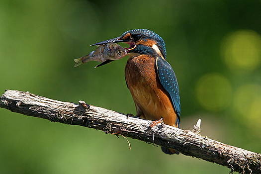 Kingfisher with caught fish on a branch by Ronald Jansen
