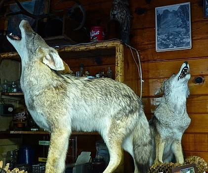Kings Canyon Lodge Coyotes by Amelia Racca