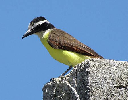 Kiskadee Flycatcher on Bermuda by Bob See
