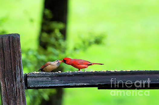 Dan Friend - Kissing cardinals