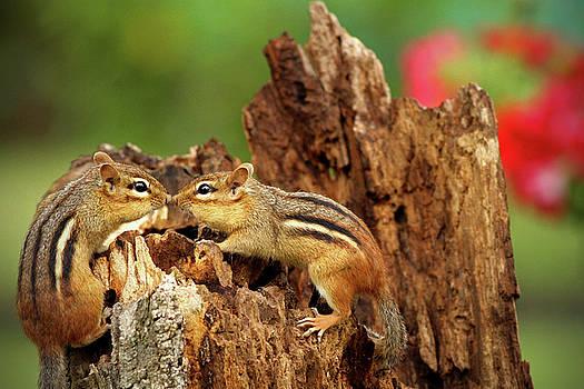 Kissing Chipmunks by Kelly Lucero
