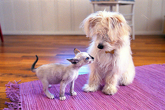 Kitten Sniffing Puzzled Dog On Purple by Gillham Studios