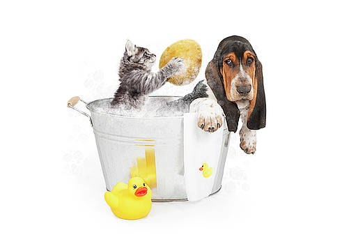 Kitten Washing Basset Hound in Tub by Susan Schmitz