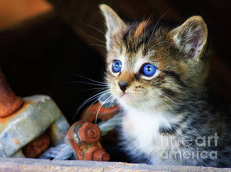 Jill Lang - Kitten with Blue Eyes