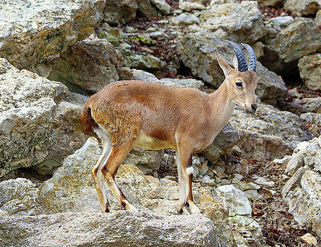 Klipspringer by Inspirational Photo Creations Audrey Woods