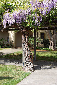 Knarled Wisteria by Carolyn Donnell