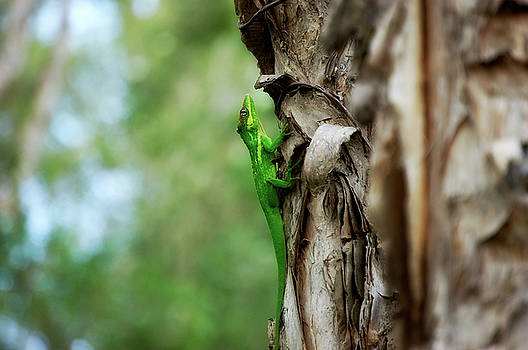 Knight Anole by Rich Leighton