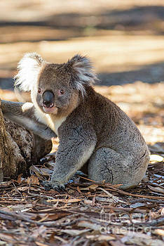 Koala by Andrew Michael