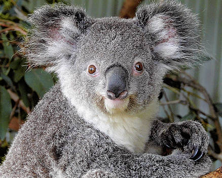 Koala Bear  by Jack Nevitt
