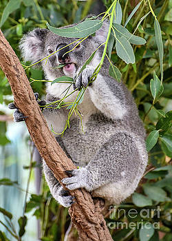 Koala by Jim Chamberlain