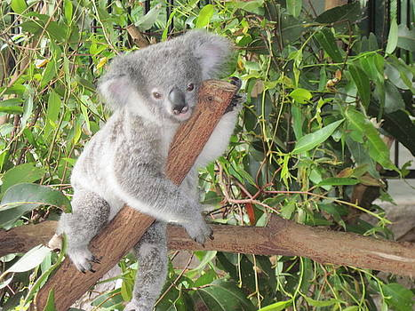 Koala Just Hangin' Out by Donna Cavender