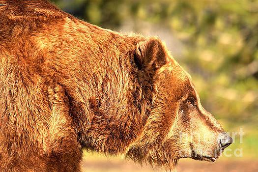 Adam Jewell - Kodiak Grizzly Portrait