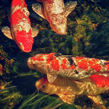 Koi Fish Fresco Square Edition by Tony Grider