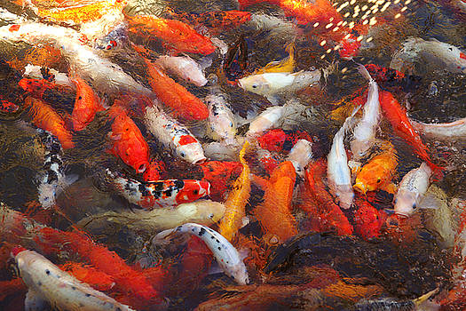 Koi Fish by Michael Cheung