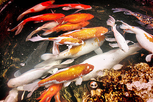 Koi Fish Pond by Mario Bennet