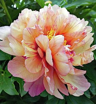 Cindy Treger - Delicate Itoh Peony