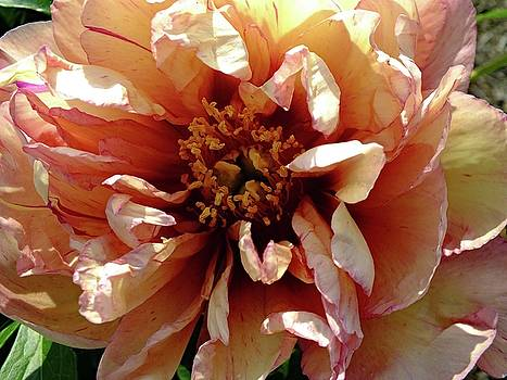 Cindy Treger - Kopper Kettle - Itoh Peony A
