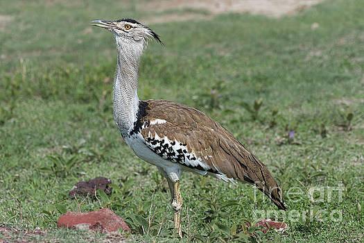 RicardMN Photography - Kori bustard in Ngorongoro Conservation Area