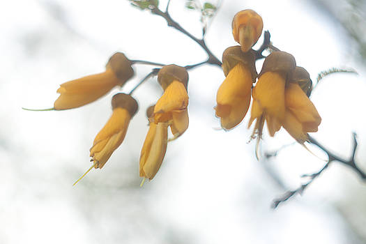 Kowhai Flowers New Zealand by Graham Hughes