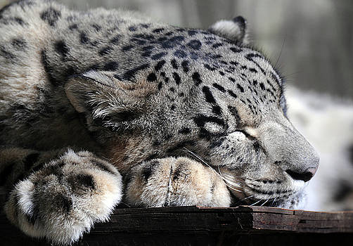 Kush the Snow Leopard sleeps by Stephie Butler