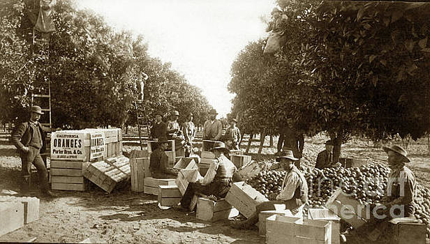 California Views Mr Pat Hathaway Archives - L. K. Hathaway Packing Oranges  1884