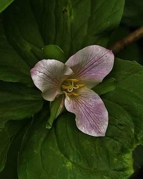 Charles Lucas - La Bonita Trillium