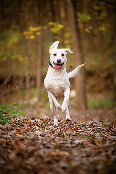 Labrador Frolics in Woodlands by Jane Melgaard