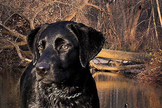 Cathy  Beharriell - Labrador Retriever