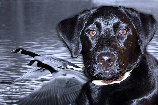 Cathy  Beharriell - Labrador Retriever Thoughts