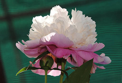 Lace Peony by Vallee Johnson