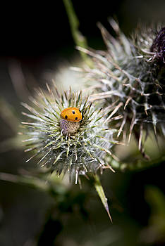 Lady and thistle by Martin Cooper