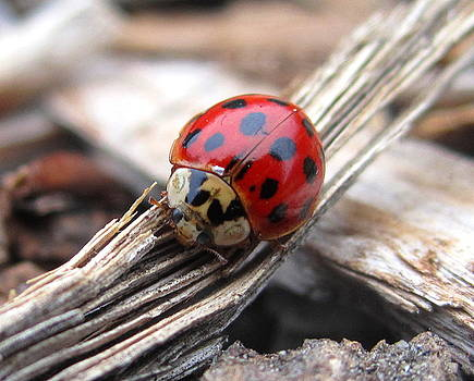 Lady Bug by Radical Reconstruction Fine Art Featuring Nancy Wood