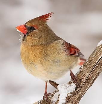 Lady Cardinal by Kelly Lucero