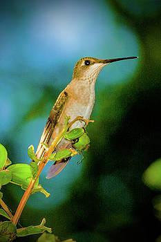 Lady Hummingbird Profile by Barry Jones