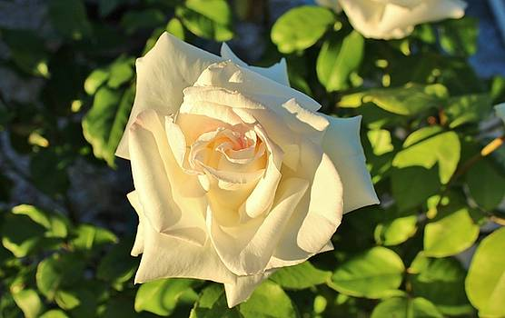 Lady Rose by Cynthia Riley