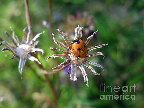 Murielle Sunier - Ladybug 5649
