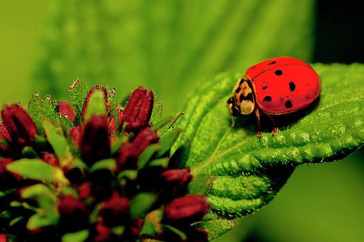 Ladybug Atop a Leaf by Roberto Aloi