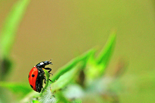 Ladybug by Bill Morgenstern